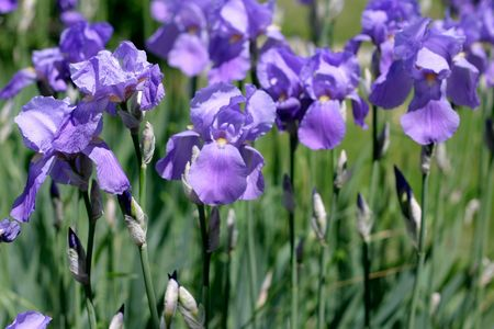 gentile: Blue Iris Flowers