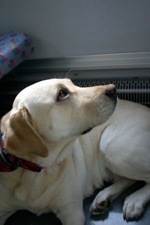 adaptable:  Dog patiently waiting departure in a modern train Stock Photo