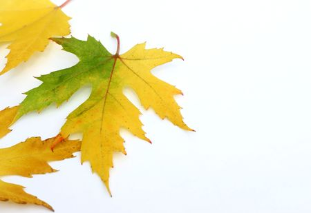 Autumn colored maple leaves Stock Photo