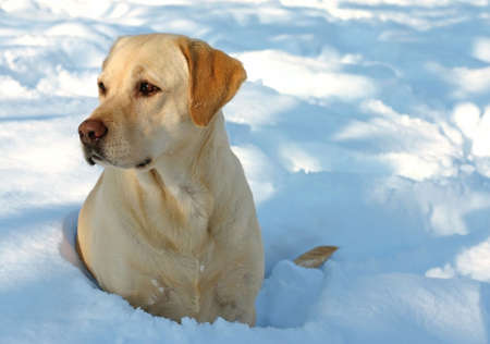 yellow yellow lab: Labrador enjoying the snow