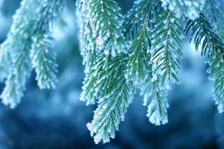 Pine tree covered with frost, blue toned Stock Photo - 363853
