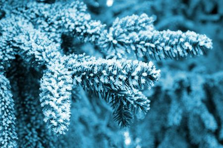 ponderosa pine winter: Pine tree covered with frost, blue toned