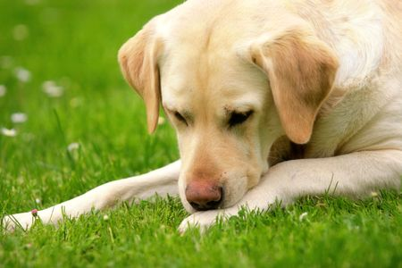 repose: Labrador retriever lying on the grass