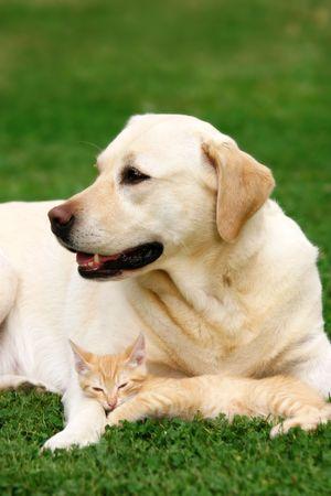 retriever: Labrador retriever and a small kitten happy together
