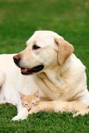 tolerance: Labrador retriever y un peque�o gatito felices juntos  Foto de archivo