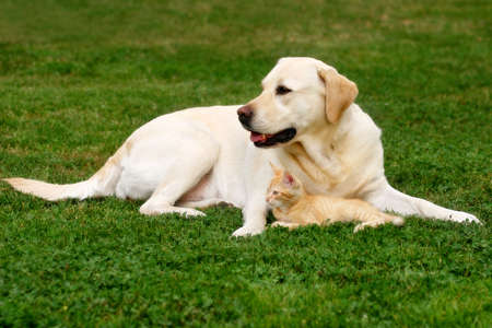 gato naranja: Labrador Retriever y un peque�o gatito felices juntos