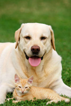 cat sleeping: Labrador retriever and a small kitten happy together