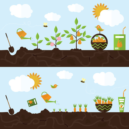 root vegetables: Vector garden illustration in flat style. Planting pear trees, harvesting, processing pear into juice. Planting carrots, harvesting, processing carrots into juice.