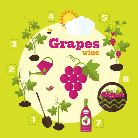 grapes wine: Vector garden illustration in flat style. Planting grapes, harvesting, processing grapes into wine.