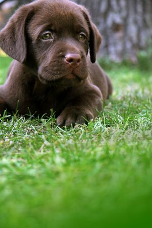 Labrador's puppy on grass Stock Photo - 676016