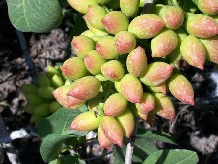 pista: a bunch of fresh unripe pistachio nuts still on the tree