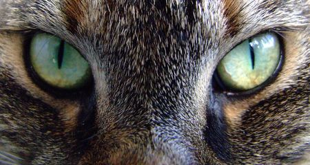close up of a norwegian forest cats face