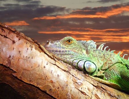lazyness: lazy lizard resting on a tree against a backdrop of an island sunset