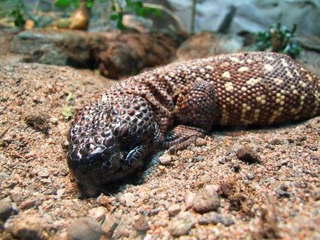 lazyness: lazy lizard having a small nap on the ground
