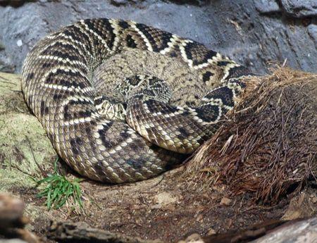 wild venomous snake slithering over its natural terrain