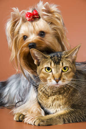 Dog of breed Yorkshire terrier and cat Stock Photo
