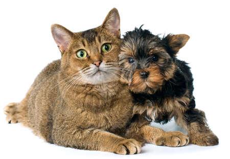 chiot et chaton: Chat et chiot en studio