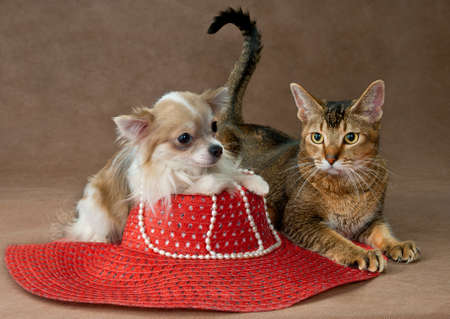 The puppy chihuahua and cat in studio on a neutral background Stock Photo