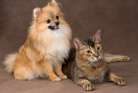Cat and puppy  in studio photo