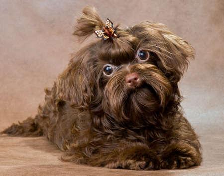 lapdog: Puppy of a Tsvetnaya dolonka in studio on a neutral background Stock Photo
