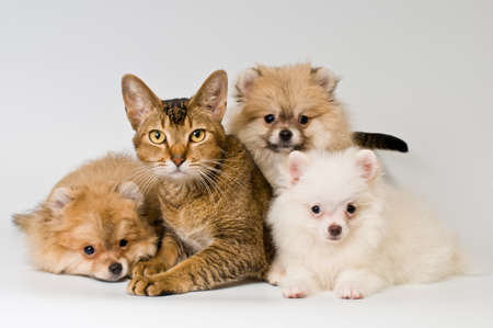 pomeranian: Cat and puppy  in studio on a neutral background