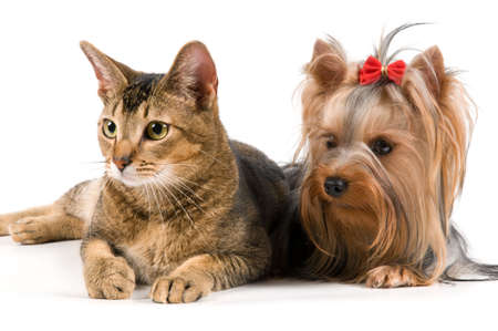 The terrier and cat in studio Stock Photo
