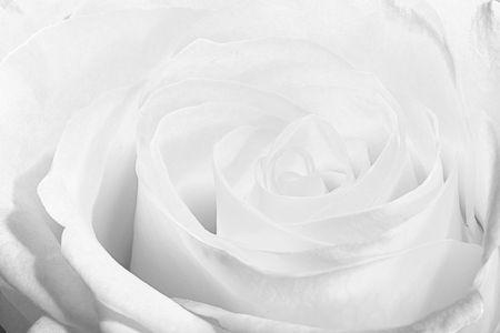 monochroom: Hoofd van de schoonheid witte roos. Hi-toets macro shot. Stockfoto