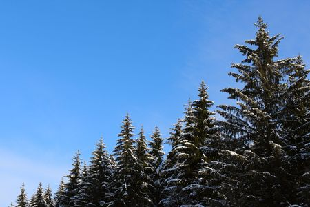 Snow pines heads on clear blue sky background. Stock Photo - 4360976