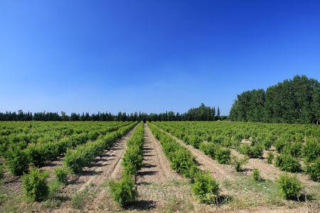 La tierra cultivada con plantas en una fila. Foto de archivo - 5033598