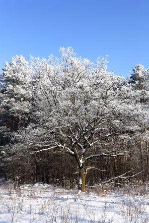 Snow-covered tree in winter, sunny day. Vertical composition. Stock Photo - 6479587