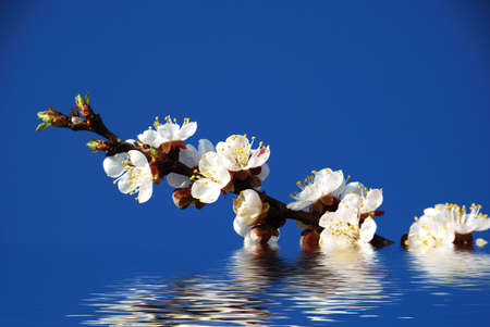 captivating: Blossoming branch reflection in water Stock Photo