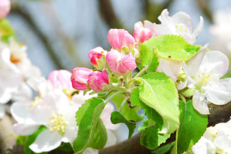 captivating: blossoming apple tree branch