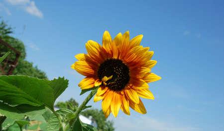sunflower over clear blue sky Stock Photo - 3276151