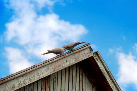 couple of pigeons sit on roof   photo