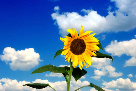 Alone sunflower over cloudy blue sky photo