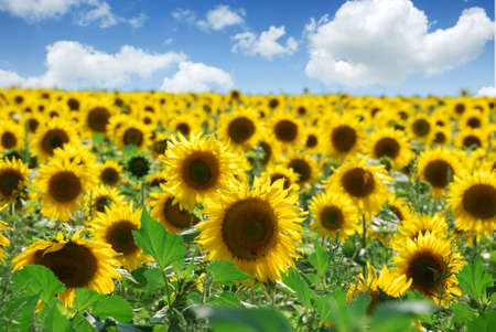 sunflowers field over cloudy blue sky photo