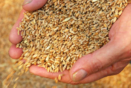 agronomic: falling wheat grains in arms Stock Photo