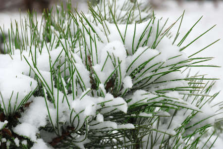 snow pine branch Stock Photo - 3827688
