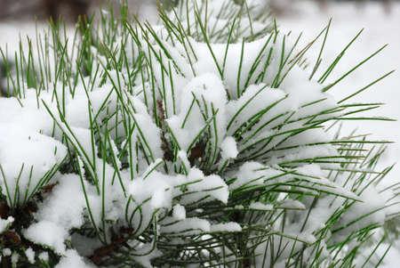 snow pine branch Stock Photo - 3827688