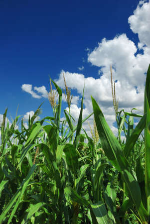 corn plant over cloudy blue sky Stock Photo - 3990333