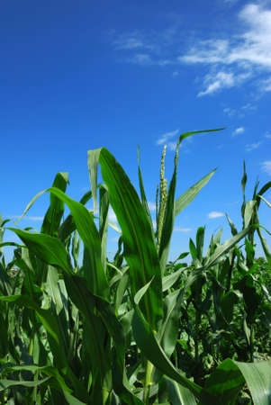 mais: Mais plant over cloudy blue sky