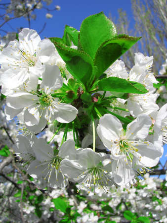 blossoming cherry branch    Stock Photo - 4717544