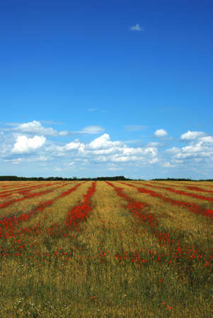 wheat and poppy field over cloudy sky Stock Photo - 5053293