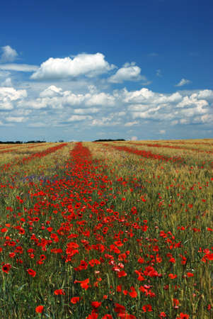 wheat and poppy field over cloudy sky Stock Photo - 5053292