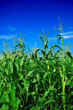 cornfield: corn plant over cloudy blue sky Stock Photo