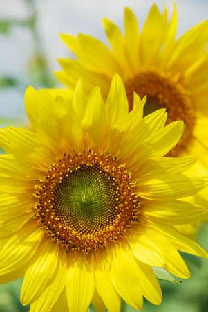 beauty couple sunflowers photo
