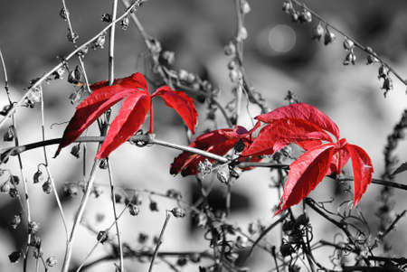 black seeds: Red leaves on blackwhite dry vegetation background  color key effect