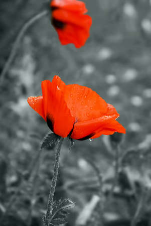 Red colorful poppy after the rain, gray background Stock Photo