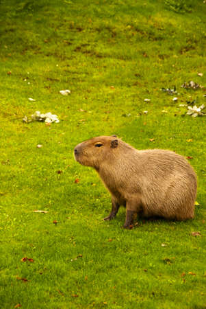 The capybara (Hydrochoerus hydrochaeris ), the largest living rodent in the world. Stock Photo