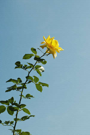 Yellow rose on blue sky background, painting texture Stock Photo - 10702064